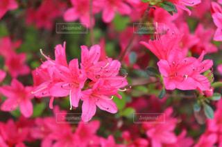 大鰐温泉茶臼山つつじ祭の赤ピンクのつつじ達の拡大の写真・画像素材[2133145]