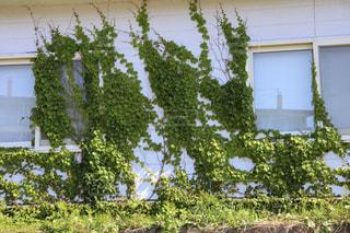 白い家を侵食する緑の植物の写真・画像素材[2173342]