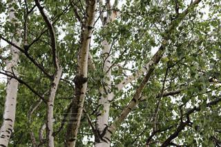 丘の上の白樺の木の写真・画像素材[2174968]