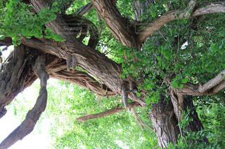 絡み合う樹木の写真・画像素材[2213770]