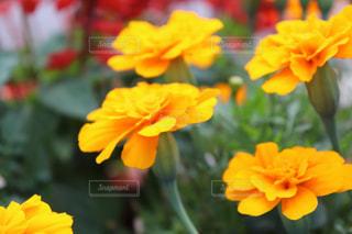 公園に咲く綺麗でカラフルな花の写真の写真・画像素材[2434794]