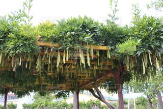公園内の休憩所と天井の藤の花の写真の写真・画像素材[2434802]