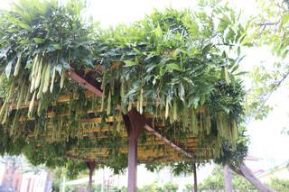 公園内の休憩所と天井の藤の花の写真の写真・画像素材[2434808]