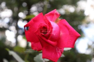 大館市のバラまつりにて綺麗な薔薇の写真の写真・画像素材[2602961]