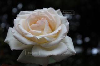 大館市のバラまつりにて綺麗な薔薇の写真の写真・画像素材[2603033]