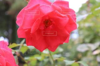 大館市のバラまつりにて綺麗な薔薇の写真の写真・画像素材[2603129]