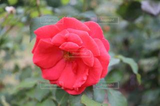 大館市のバラまつりにて綺麗な薔薇の写真の写真・画像素材[2603133]