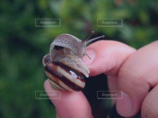 カタツムリを持っている手の写真・画像素材[1416361]