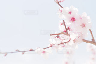 アーモンドの花の写真・画像素材[2117349]