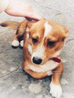 茶色と白の犬が地面に横たわっているの写真・画像素材[2128793]