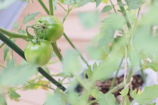 緑のトマトのクローズアップの写真・画像素材[2259809]