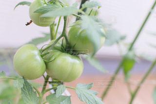 緑トマトのクローズアップの写真・画像素材[2259810]