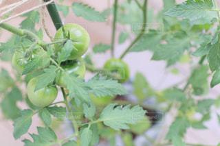 緑トマトのクローズアップの写真・画像素材[2259811]