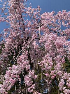 青空の中の桜の写真・画像素材[2091904]