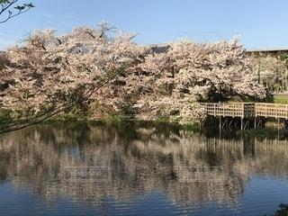 桜と池の写真・画像素材[2115977]