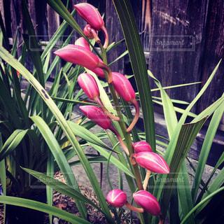 ピンクの花の胡蝶蘭の写真・画像素材[2094266]
