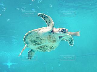 水中で泳ぐカメの写真・画像素材[2093662]
