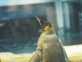 ペンギンのクローズアップの写真・画像素材[2093764]