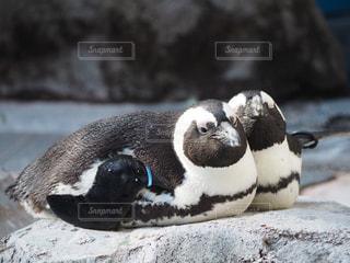 雪の中のペンギンの写真・画像素材[2093990]