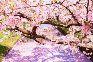 桜まみれの写真・画像素材[2094880]