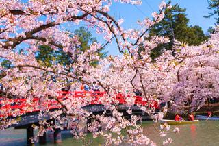 青空の下の桜と赤い橋の写真・画像素材[2094883]