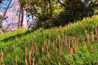 桜とつくしの写真・画像素材[2094884]