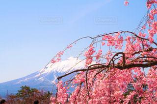 大きな桜の木と岩木山。の写真・画像素材[2094889]