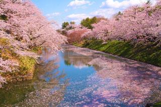 桜と花びら流れている川の写真・画像素材[2094892]