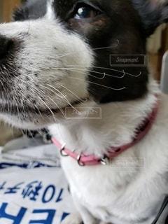犬をクローズアップの写真・画像素材[2789294]