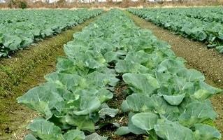 緑の野菜の写真・画像素材[2867260]