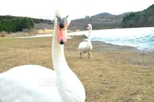 白鳥の写真・画像素材[2917443]