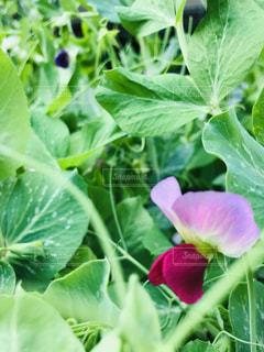 緑の植物のクローズアップの写真・画像素材[2103880]