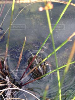 カエルの写真・画像素材[2145030]