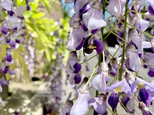 蜂と藤の写真・画像素材[2095909]