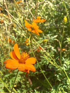 オレンジの花の写真・画像素材[2098848]