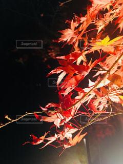 もみじの写真・画像素材[2102749]