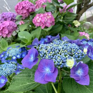 植物の紫色の花のクローズアップの写真・画像素材[2266520]
