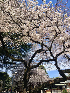 大きな木の写真・画像素材[2278832]