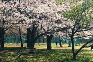 公園の大きな木の写真・画像素材[2284942]