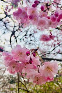 植物のピンクの花のクローズアップの写真・画像素材[2284964]