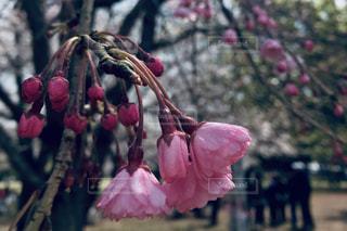 ピンクの花のクローズアップの写真・画像素材[2284966]