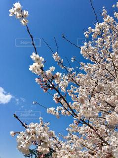 木から垂れ下がる花の写真・画像素材[2284968]