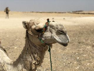 ラクダの接写の写真・画像素材[2097907]