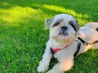 芝生の上でくつろぐ犬の写真・画像素材[2461488]
