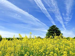 菜の花と青空の写真・画像素材[2098361]