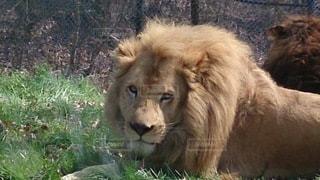 かっこいいライオンの写真・画像素材[2113220]