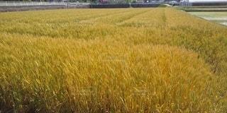 小麦畑の写真・画像素材[2123915]