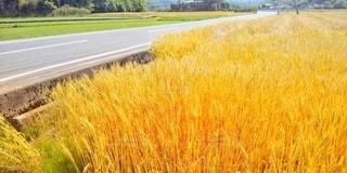 金色畑の写真・画像素材[2151659]
