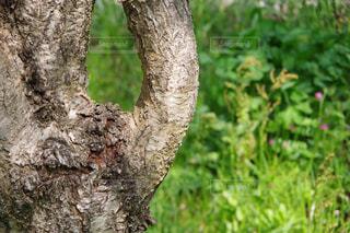 桜の木の幹の写真・画像素材[2113014]