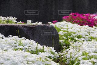 芝桜と岩のガーデンの写真・画像素材[2113015]